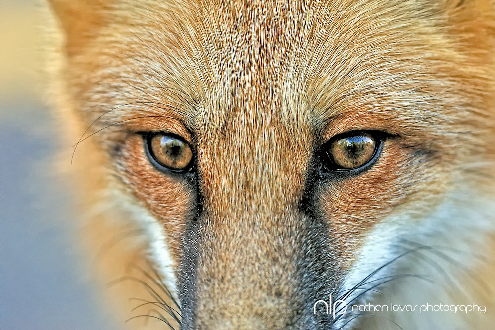 Red Fox (Vulpes vules) face detail;  Grand Portage, MInnesota, in wild.