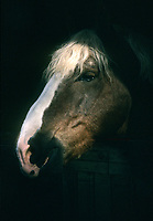 Breton horse with light shining on face in stall