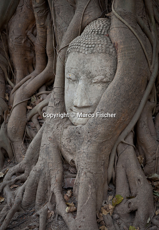 Buddha statue entwined within the branches and roots of this tree in Ayutthaya , Thailand.