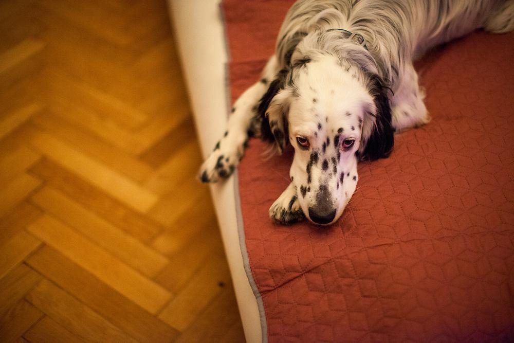 """English Setter """"Rudy"""" liegt am 16.11. 2017 auf dem Bett in Prag.  Rudy wurde Anfang Januar 2017 geboren und ist gerade zu seiner neuen Familie umgezogen."""
