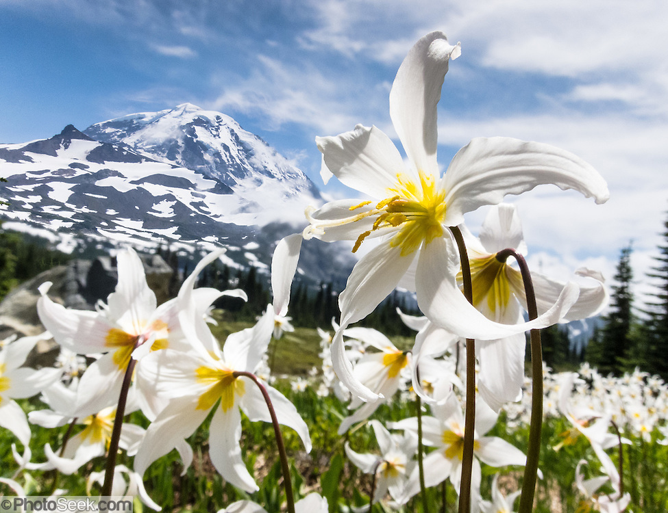 Fields of White Avalanche Lilies bloom in late July along the trail in Spray Park, in Mount Rainier National Park, Washington, USA. Erythronium montanum (in the Liliaceae family) is native to the alpine and subalpine Olympic and Cascade Ranges of the Pacific Northwest and coastal British Columbia, in North America. Avalanche Lilies bloom as snow melts in late spring and early summer in damp subalpine woodlands and alpine meadows. This image combines 2 overlapping photos into a composite having greater depth of focus.