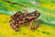 Hoogmoed's Harlequin Frog; Atelopus,  spumarius hoogmoedi; Guyana; Iwokrama