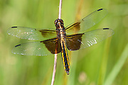 Widow Skimmer, Libella luctuosa, female, Lapeer Co., Michigan