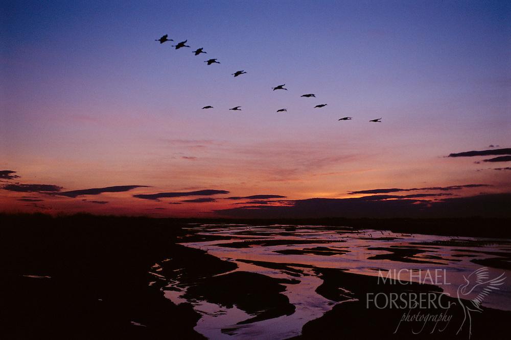 Cranes flying over the Platte River in central Nebraska at sunset.