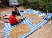 Laos, Luang Prabang Province. Pho Kham. Rice.