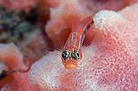 Neon Triplefin, Mouth Agape, on Sponge