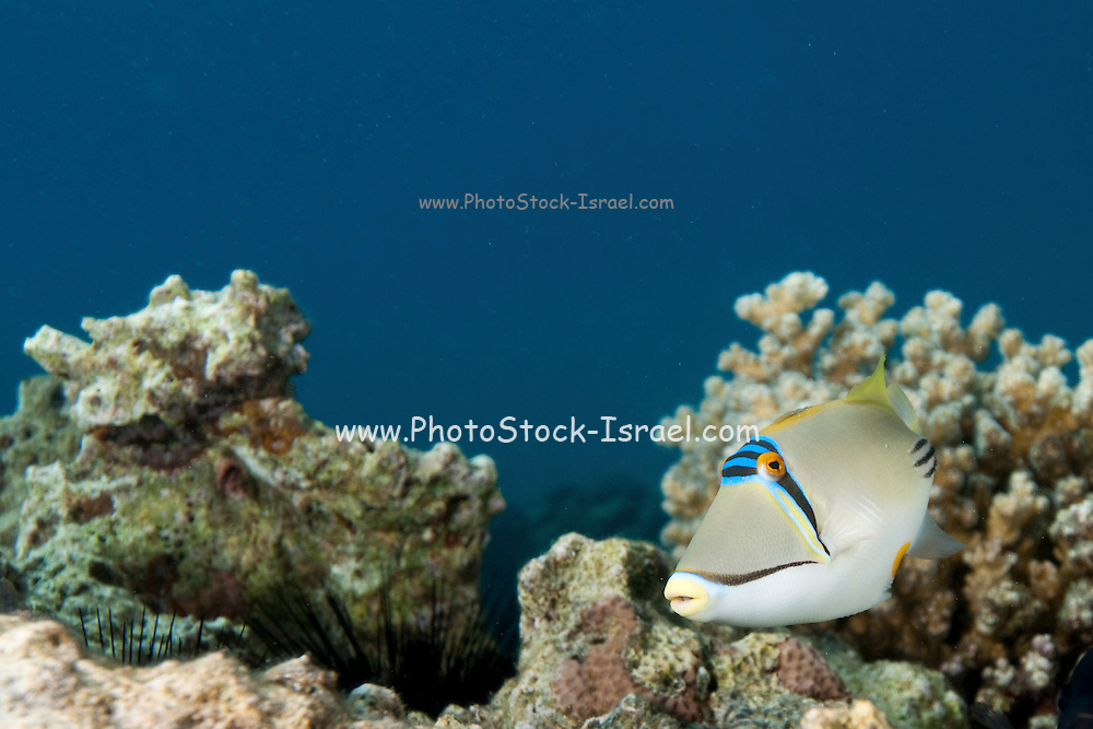 Arabian Picasso triggerfish (Rhinecanthus assasi). The Arabian Picasso triggerfish is found in shallow, sandy areas of coral reefs in the western Indian Ocean. It feeds on small invertebrates, such as crustaceans, and may reach a length of 30 centimetres. Photographed in the Red Sea Israel