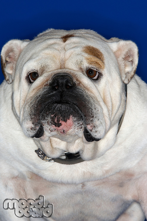 Bulldog close-up