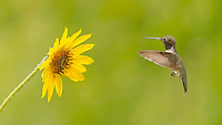 Black-chinned Hummingbird, Archilochus alexandri<br />