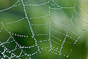 Due drops of a spider's web