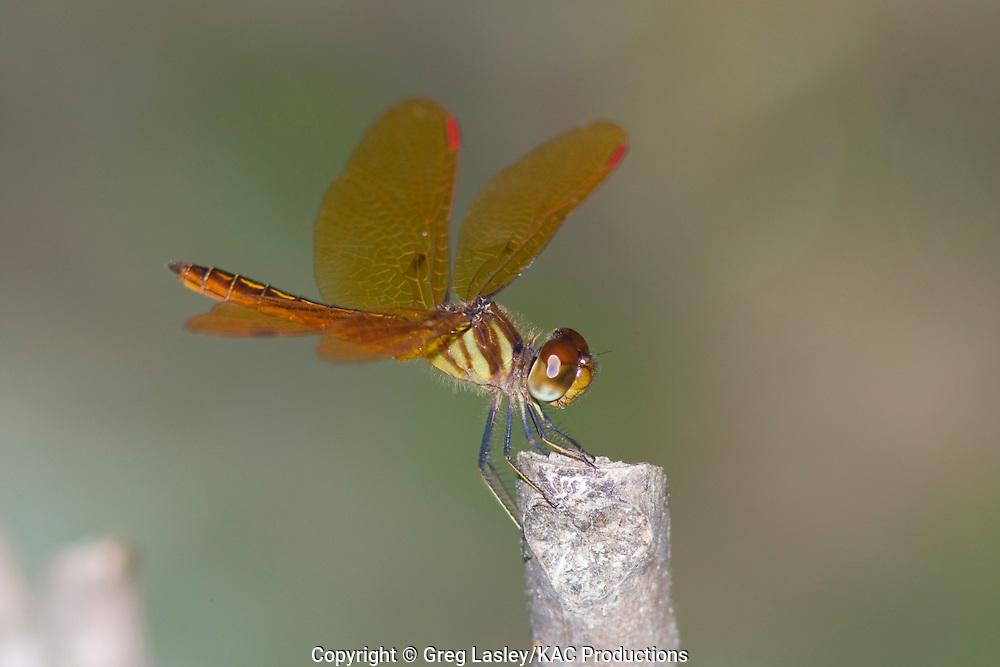 Slough Amberwing.Perithemis domitia .male.Breckenridge Park,.San Antonio,.Bexar Co., Texas.9 September 2008