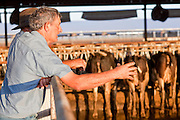 31 JULY 2009 --  BUCKEYE, AZ: Joe Martin (CQ) from Hanford, CA, looks at livestock at the auction on the former Pylman Dairy Farm in Buckeye. The auction was handled by Overland Stockyards from Hanford, CA. The Arizona dairy industry is struggling to survive the worst milk economy some have ever seen. Due to the global recession, overseas demand for Arizona dairy products has plummeted, forcing prices down while production costs have stayed stable or gone up. For every $1 dairymen earn from milk sales, it cost them $1.50 to produce the milk. Photo by Jack Kurtz