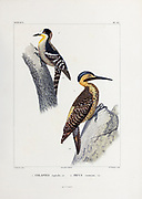 hand coloured sketch Top: white-fronted woodpecker (Melanerpes cactorum)[Here as Picus cactorum]) Bottom: Andean flicker (Colaptes rupicola) From the book 'Voyage dans l'Amérique Méridionale' [Journey to South America: (Brazil, the eastern republic of Uruguay, the Argentine Republic, Patagonia, the republic of Chile, the republic of Bolivia, the republic of Peru), executed during the years 1826 - 1833] 4th volume Part 3 By: Orbigny, Alcide Dessalines d', d'Orbigny, 1802-1857; Montagne, Jean François Camille, 1784-1866; Martius, Karl Friedrich Philipp von, 1794-1868 Published Paris :Chez Pitois-Levrault et c.e ... ;1835-1847