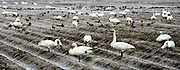 Tundra Swans look for food in a fallow field
