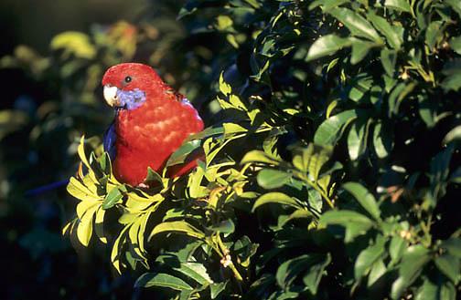 Crimson Rosella, (Platycercus elegans) Southeast Australia.