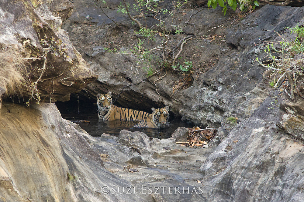 Tiger <br /> Panthera tigris<br /> 18 month old cub (s) at waterhole<br /> Bandhavgarh National Park, India<br /> *Endangered species