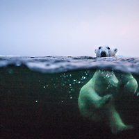 Canada, Manitoba, Churchill, Underwater view of Polar Bear (Ursus maritimus) swimming in Hudson Bay on summer evening