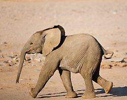 A desert-adapted elephant calf (Loxodonta africana) runs to catch up with its mother, Skeleton Coast, Namibia, Africa