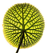 Leaf of a Giant Amazon water lilies (Victoria amazonica).