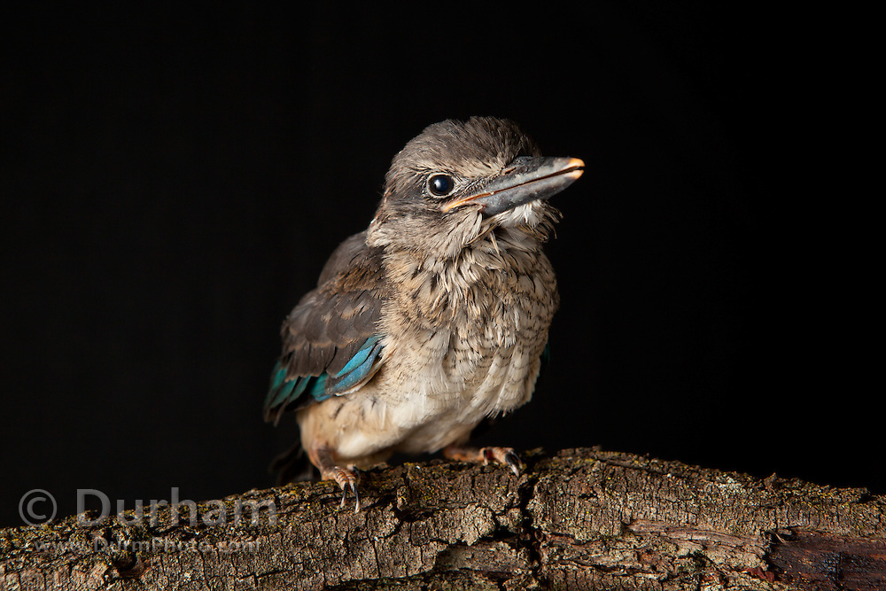 An orphaned juvenile brown hooded kingfisher (Halcyon Albiventris) at the Chipangali Wildlife Orphanage in Bulawayo, Zimbabwe.