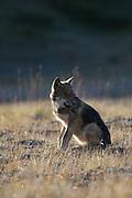 Wolf, Canis lupus, pup, autumn, alpine tundra, Grant Creek pack, Denali National Park, Alaska,  horizontal, wild