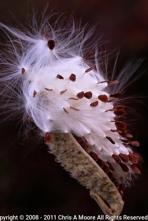 Milkweed seeds burst from a seed pod. Denver, Colorado.