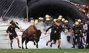 SHOT 9/18/08 6:24:52 PM - Ralphie, the University of Colorado's mascot, leads the football team onto the field against West Virginia just before kickoff of the first half of their game at Folsom Field in Boulder, Co. Colorado beat the then 21st ranked Mountaineers 17-14 in overtime. Colorado freshman running back Rodney Stewart finished the game with 166 yards rushing..(Photo by Marc Piscotty / © 2008)
