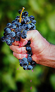 Copyright JIm Rice &copy;2013<br /> RED WINE GRAPES .<br /> HUNTER VALLEY.<br /> AUSTRALIA