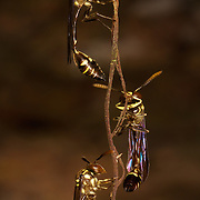 Stenogastrinae wasps are a cosmopolitan wasp group presently treated as a subfamily of Vespidae, but sometimes recognized in the past as a separate family, Eumenidae.