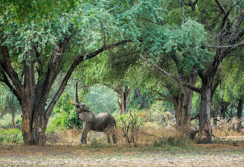 An elephant reaches for leaves in a winter thorn forest, Lower Zambezi National Park, Zambia.