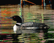 ADULT COMMON LOON, HIGHLAND LAKE, BRIDGTON,ME