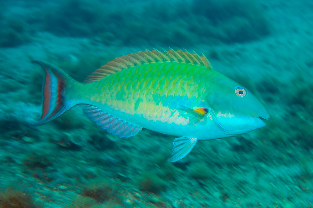 A male Redtail Parrotfish, Sparisoma chrysopterum,  in its terminal color phase swims underneath the Blue Heron Bridge in the Lake Worth Lagoon, a polluted marine estuary in northern Palm beach County, Florida, United States.