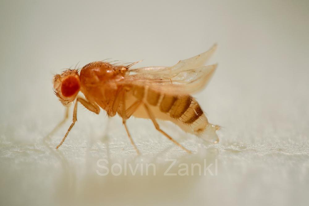 """Yellow type (Body pigmentation and wings appear yellow) and curly type (The wings curve away from the body) Fruit Fly (Drosophila melanogaster) in lab culture.    Eine weibliche Taufliege (Drosophila melanogaster), des doppelt genmanipulierten Stammes """"Mutation curly + yellow"""" legt ein Ei auf einen speziellen untergrund aus geliertem Apfelsaft. Die Tiere dieses Stammes zeichnen sich durch aufgebogene Flügelenden sowie eine hell-gelbliche Körperfarbe aus. Da das veränderte Erbgut auch in die Geschlechtszellen mit eingebaut wurde, wird bei Verpaarung mit einem entsprechenden Männchen auch die aus dem Ei schlüpfende Fliege die Verkrüppelung und Farbveränderung aufweisen."""