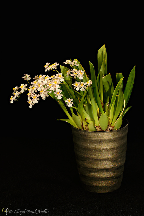 Oncidium orchid (Tsiku Marguerite) grown by the photographer, 7 inches tall, with one multibranched flower spike supporting 43 individual blossoms.<br /> <br /> Oncidium is a genus that contains over 330 species of orchids.  It is an extraordinarily large and diverse group from varied habitats. Most species in the Oncidium genus are epiphytes (grow on other plants), although some are lithophytes (grow on rocks) or terrestrials (grow in the ground). They are widespread from northern Mexico, the Caribbean, and some parts of South Florida to South America, usually occurring in seasonally dry areas.  This genus was first described by Olof Swartz in 1800, a Swedish botanist and taxonomist and the first specialist of orchid taxonomy.  The name is derived from the Greek word &quot;onkos&quot;, meaning &quot;swelling&quot; due to the callus at the flower's lower lip.