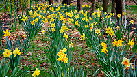 Daffodil Garden (4 years old). Image taken with a Fuji X-T3 camera and 80 mm f/2.8 macro lens (ISO 1250, 80 mm, f/16, 1/120 sec)