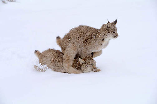 Canada Lynx, (Lynx canadensis) Montana. Sub adults playing and running in snow. Winter.Captive Animal.