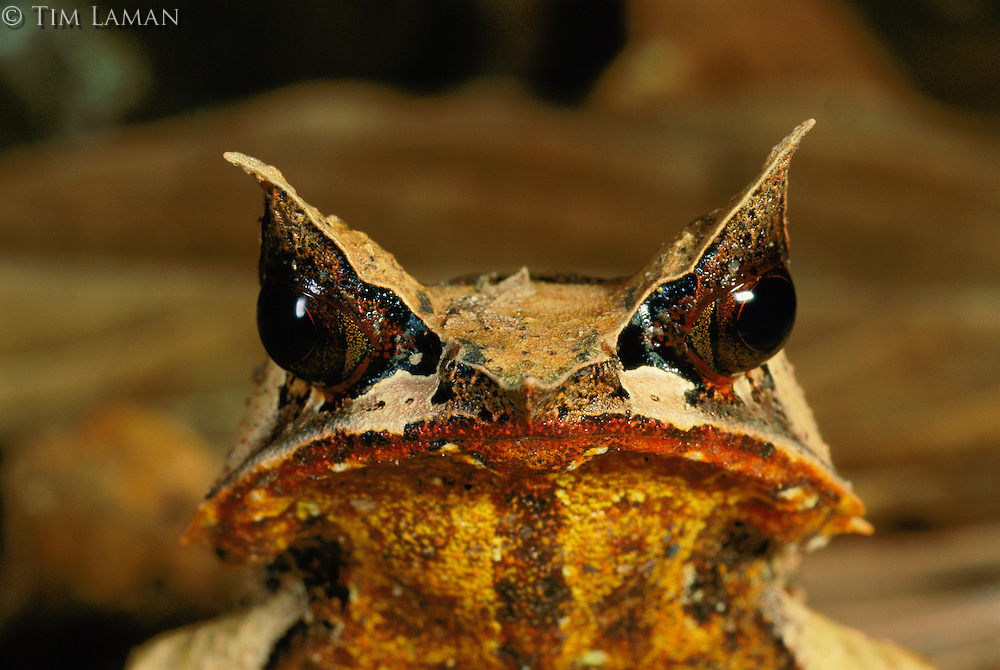 A close-up of a Bornean Horned Frog (Megophrys nasuta) on the rain forest floor at night..Danum Valley Conservation Area, Borneo Island, Malaysia.