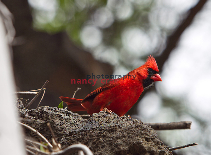 Eight people set out from Hilo, Hawaii on a Wilderness Inquiry hiking adventure on March 24, 2012, around the entire island.  From volcanic fields to rain forests, they saw the island as few tourists do...Northern cardinal at Whittington Beach Park just south of Honu'apu.