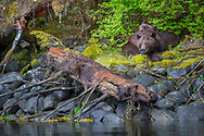Mama Grizzly and daughter cuddling on mossy bed