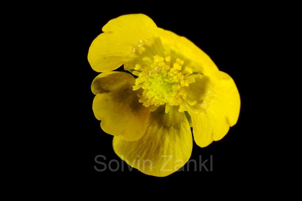 Meadow buttercup (Ranunculus acris) - Scharfer Hahnenfuß