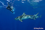 photographer and tiger sharks, Galeocerdo cuvier, North Shore, Oahu, Hawaii, USA ( Central Pacific Ocean ) MR 389