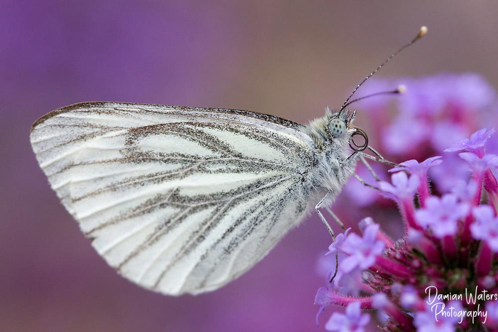 Green-veined White - Pieris napi - Tayside, August