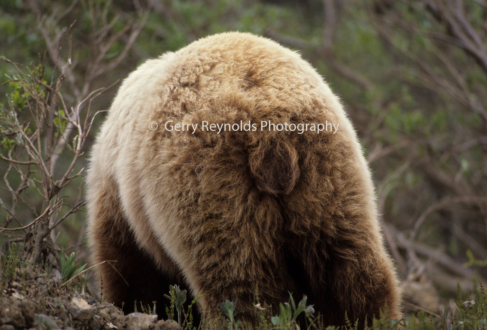 Grizzly Bear, Brown Bear, Bear, Denali National Park, Alaska