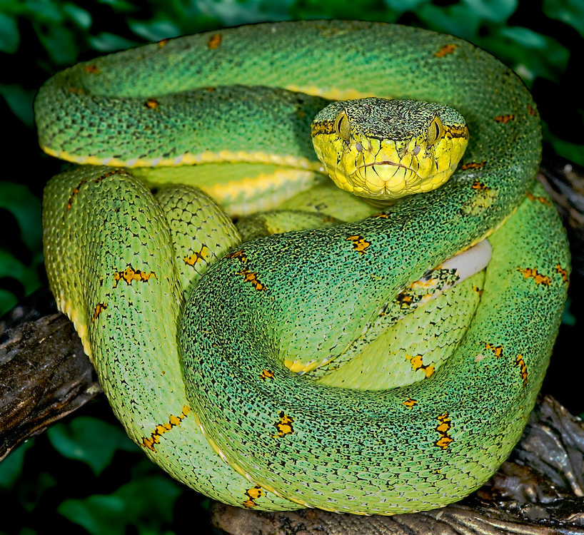 Amazon Palm Viper(Bothriopsis b bilineatus)
