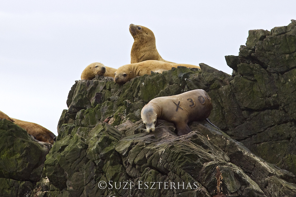 Steller Sea Lion<br /> Eumetopias jubatus<br /> Katmai National Park, Alaska