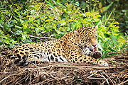 A Jaguar (researchers call him George) grooms himself while resting along a river in the Pantanal Brazil.