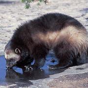 Wolverine, (Gulo gulo) Adult. Rocky mountains. Montana. Captive Animal.