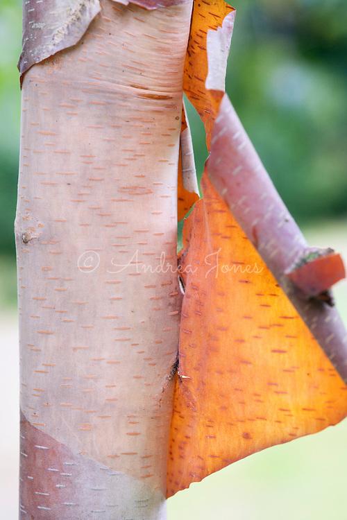 Betula albosinensis (Chinese red birch) multi-stem, bark, RBG Kew, Richmond