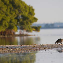 A raccoon at Fort De Soto Park in Pinellas County, Florida.
