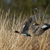 A pair of widgeon ducks in flight.